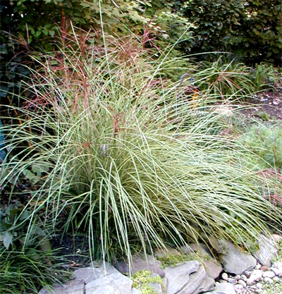 Ornamental grasses in all their glory homestead gardens for Ornamental grasses that bloom