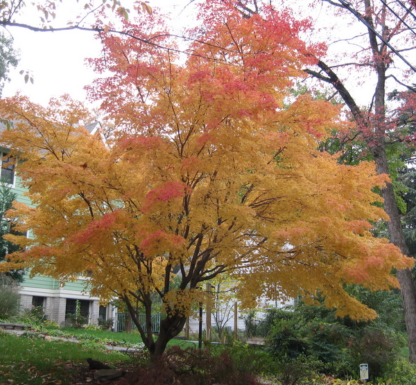 Unknown Japanese  Maple across the street from me (yay!)