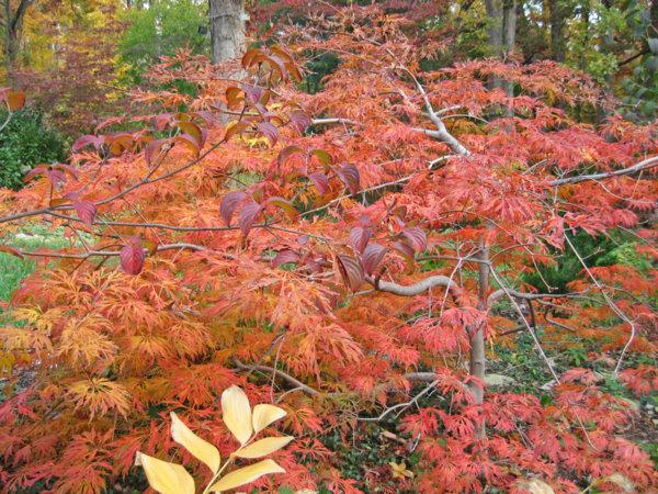 Fullmoon Japanese Maple 'Green Cascade'