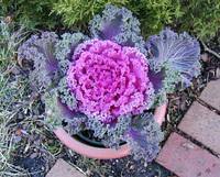 redcabbage2_1