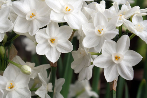 All about forcing paperwhites homestead gardens inc homestead all about forcing paperwhites mightylinksfo
