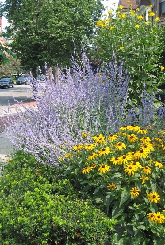 Betsy's Favorite Perennials: Russian Sage Is High On The