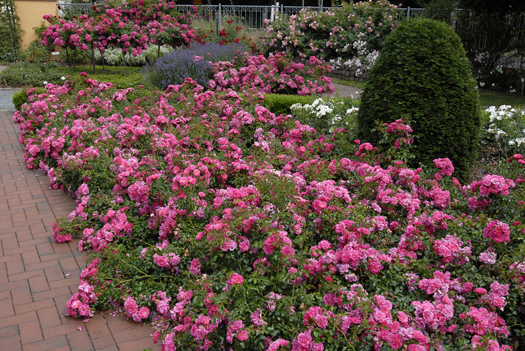 Flower carpet roses make the garden photo ready in a hurry i hope pink supreme flower carpet roses mightylinksfo