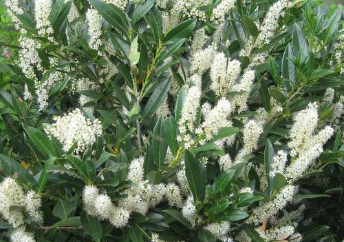 Time To Prune Cherry Laurels Azaleas Too Homestead Gardens Inc