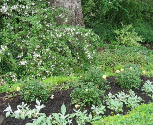 Flower carpet roses make the garden photo ready in a hurry i hope amber flower carpet roses in foreground white knight weigela behind them mightylinksfo Image collections