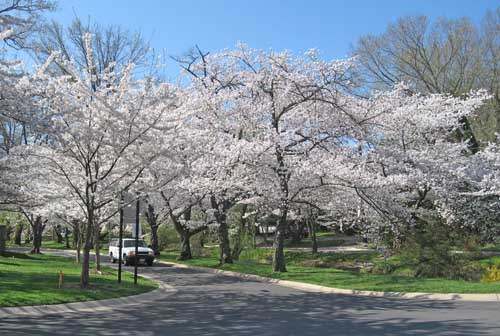 Blight Killing Branches On Flowering Cherry Trees