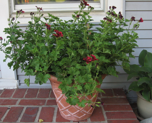 Mid Summer Container Update Homestead Gardens Inc