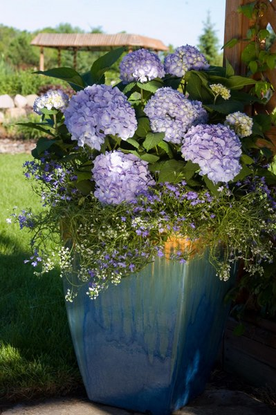 Are your Endless Summer Hydrangeas Underblooming? Here's ...